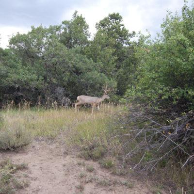 Nice 8pt Mule Deer buck next to my tent