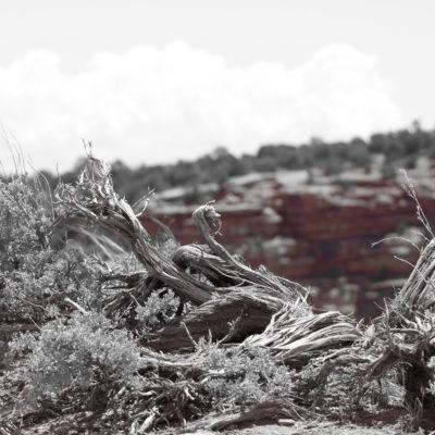 Weathered brush on the Canyon.