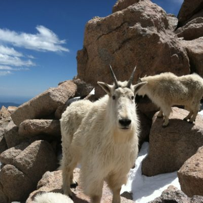 Mountain Goat @ Mt Evans