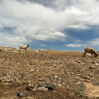 Female big horn Sheep.