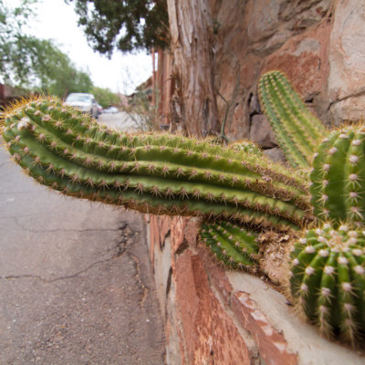 this is the 'you better carry a flashlight with you at night or you get this in the crotch' cactus.