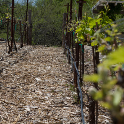 Grenache vines at Page Springs