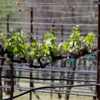 Vines at Page Springs