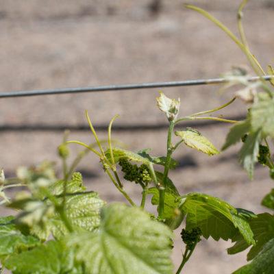 Baby Grapes at Oak Creek Winery
