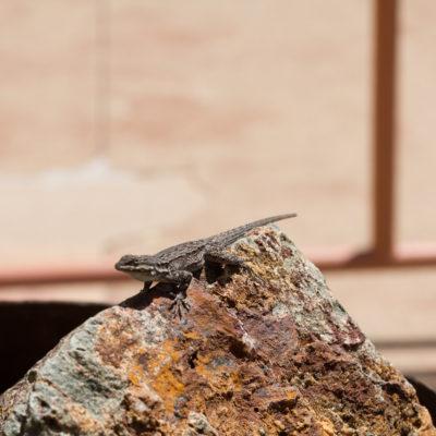 Another cool little lizard
