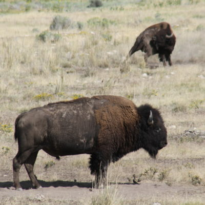 Bison, doing what bison do.