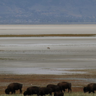 Bison, with a wolf or similar animal following them out on the basin.