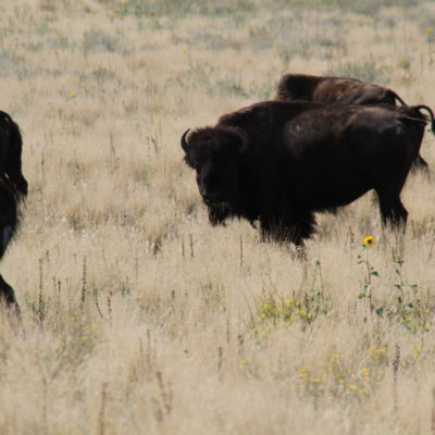 Bison, looking my direction.